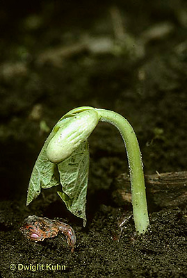 SE09-004c  Bean - seedling emerging from soil - seed coat on ground, true leaves, cotyledons - Provider variety