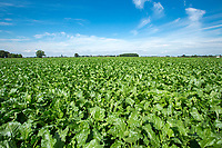 Sugar beet - Lincolnshire, July