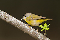 Nashville Warbler, Vermivora ruficapilla, adult, Uvalde County, Hill Country, Texas, USA, April 2006