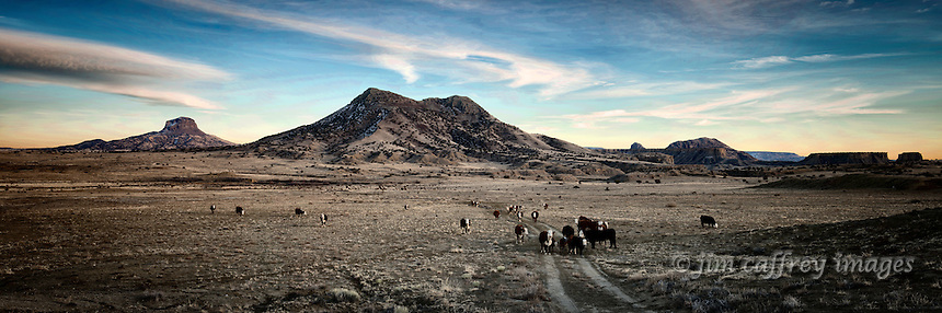 A herd of cattle makes it's way home after a hard day of grazing in New Mexico's Rio Puerco Valley