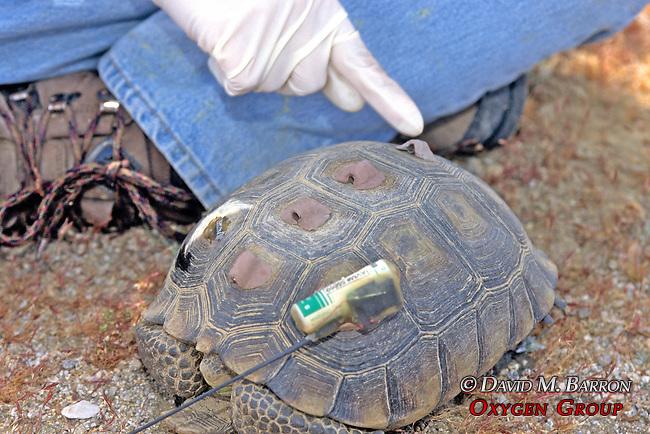 Installing Radio Tag On Desert Tortoise