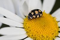 Trockenrasen-Marienkäfer, Vierzehnfleck-Marienkäfer, 14-Fleck-Marienkäfer, Vierzehnfleck, Coccinula quatuordecimpustulata, Coccinella quatuordecimpustulata, fourteen-spotted ladybird beetle, Marienkäfer, Coccinellidae