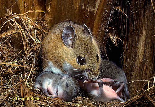 MU27-145z  White-footed Mouse Mother with young - 9 day old young - Peromyscus leucopus