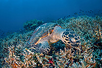 A Hawksbill turtle, Eretmochelys imbricata, is completely engrossed in feeding on sponges amongst the coral near Komodo, Indonesia, Pacific Ocean