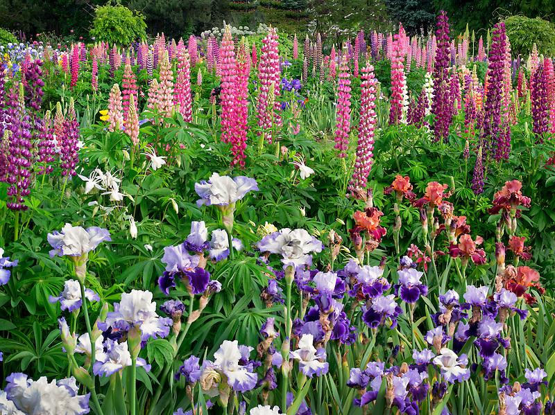 Iris and lupines at Schreiner's  iris Gardens. Brooks, Oregon