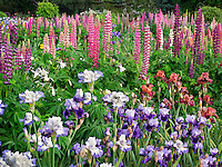 Iris and lupines at Schreiner's  iris Gardens. Brooks, Oregon
