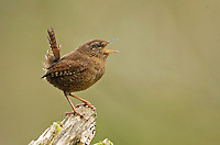 Male Pacific wren proclaiming his territory by singing from his favorite perch atop a rotting stump.<br /> Woodinville, Washington<br /> 3/24/2013