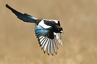 Black-billed magpie in flight displaying the iridescence of its plumage.<br />