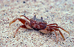 Ghost Crab, on beach, Galapagos Islands, Ecuador