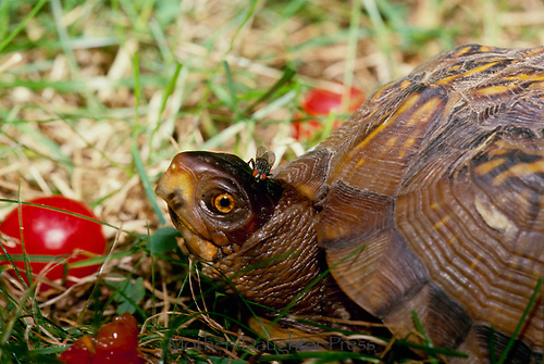 Box Turtle with fly on its head eating tomatoes, MO