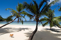 Seychelles, Island Mahe, Anse Gaulettes: beach - young dog
