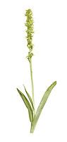 Musk Orchid - Herminium monorchis