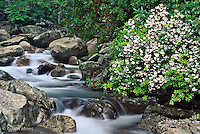 Mountain stream and Mountain Laurel, Great Smoky Mountains National Park, Tennessee