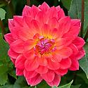 Dahlia 'Kilburn Rose', mid August.