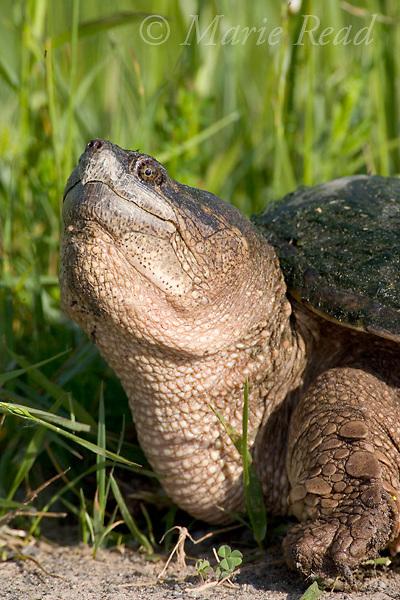Snapping Turtle (Chelydra serpentina) adult,  Montezuma National Wildlife Refuge, New York, USA.
