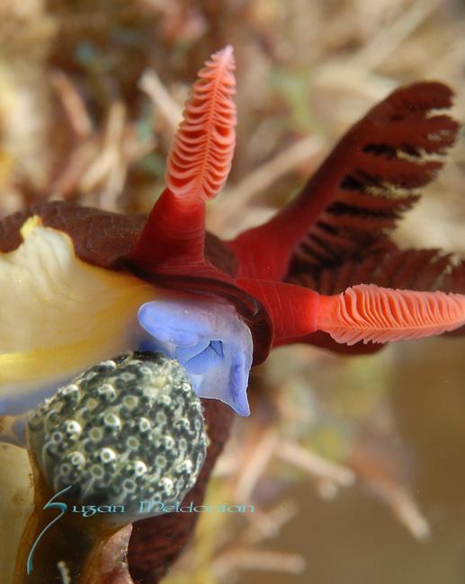 Chamberlains Nembrotha , Anilao, Batangas, Philippines, Amazing underwater Photography