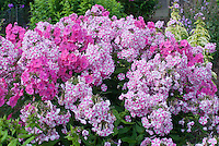 Phlox paniculata 'Peppermint Twist' (31) reverting from striped pink and white flowers to solid pink