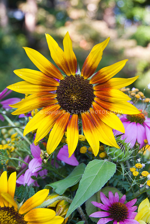 Helianthus sunflowers cut flowers vase, bicolored blooms with Echinacea purpurea coneflowers in summer casual arrangement