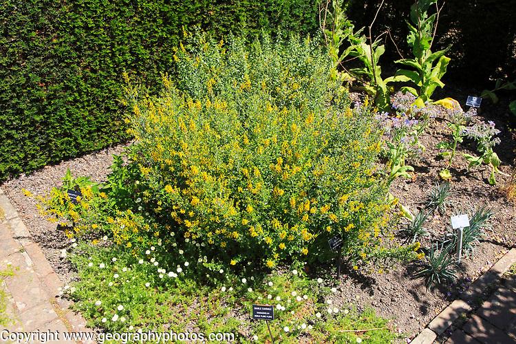Double Camomile plant, Chamaemelum Nobile Flore Pleno, Sissinghurst, Kent, England, UK