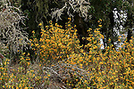 Bush monkeyflowers in sand hills, Henry Cowell Redwoods State Park