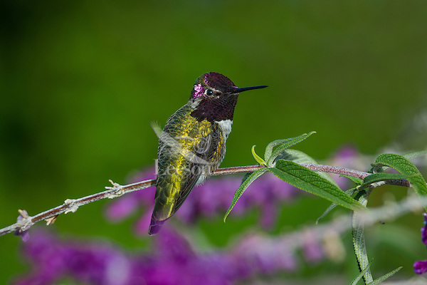 Male Anna's Hummingbird (Calypte anna) perched on garden flower showing iridescent gorget feathers.  California.  Fall.