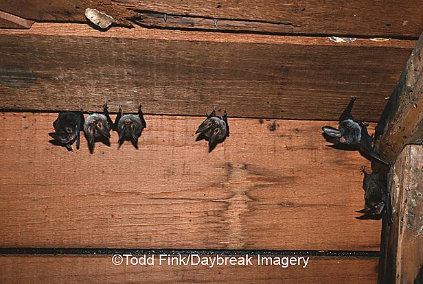 01850-001.03 (TF) Rafinesque's big- eared bats (Plecotus rafinesquii) Johnson Co.   IL