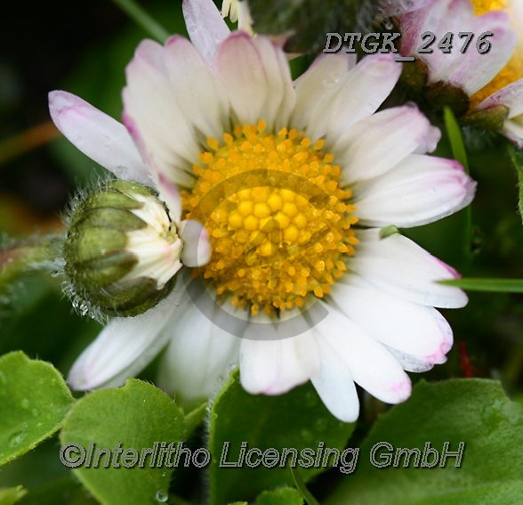 Gisela, FLOWERS, BLUMEN, FLORES, photos+++++,DTGK2476,#f#, EVERYDAY