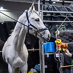 Colestus at the stables of the Longines Hong Kong Masters 2015 at the AsiaWorld Expo on 14 February 2015 in Hong Kong, China. Photo by Moses Ng / Power Sport Images