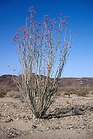 DESERT FLORA<br /> Ocotillo, Fouquieria Splenders<br /> Joshua Tree NP, CA
