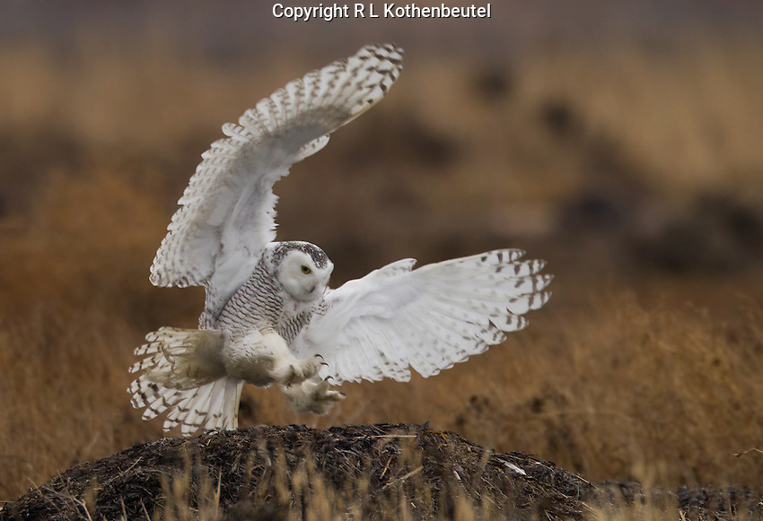 Snowy owl in flight and about to land on a driftwood log.<br />