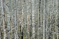 Forest of dead standing trees.