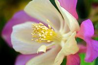 Aguilegia Swan Pink and Yellow Columbine. Al's Nursery, Oregon