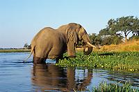 Large african elephant bull feeding along the edge of the Zambezi River in Mana Pools National Park, Zimbabwe.