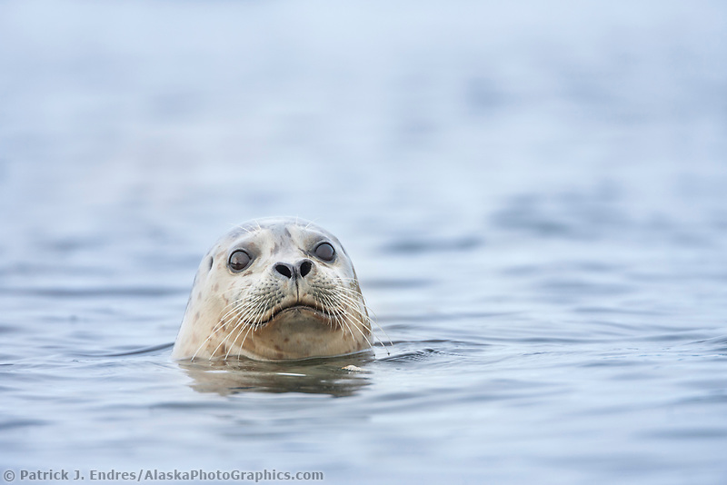 Harbor seal peers out of the water in Prince William Sound, Alaska