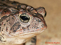 1108-0802  Southern Toad, Details of Head with Prominent Cranial Knobs, Anaxyrus terrestris, formerly Bufo terrestris © David Kuhn