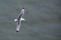 Kittiwake in flight at Bempton