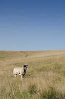 Lone Sheep Near Carsington Water, Derbyshire