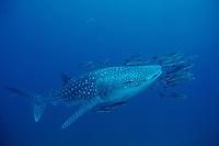 Whale Shark, Rhincodon typus, accompanied by a school of small cobia, Rachycentron canadum. Richelieu Rock, Andaman Sea, Thailand.