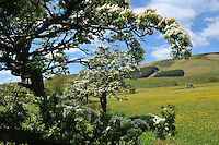 A Blackthorn tree in blossom, Whitewell, Lancashire...Copyright..John Eveson, Dinkling Green Farm, Whitewell, Clitheroe, Lancashire. BB7 3BN.01995 61280. 07973 482705.j.r.eveson@btinternet.com.www.johneveson.com