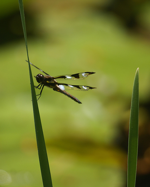 A dragonfly perched on a green blade of pond flora against a multi-colored green background at the Pine Hollow Arboretum
