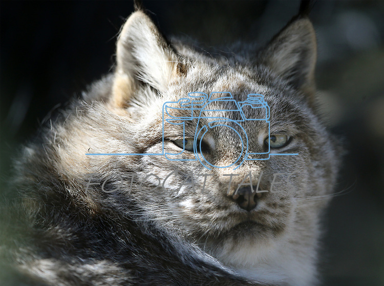 Legend, a lynx, watches a visitor at Animal Ark Wildlife Sanctuary, north of Reno, Nev., on Monday, May 1, 2017. <br />