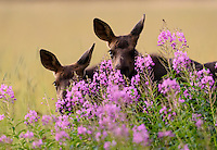 I think young moose are among the cutest critters on the planet.  These twin calves peek at me through vibrant fireweed while mom maintained a watchful eye just outside the frame.  Island Park, Idaho.
