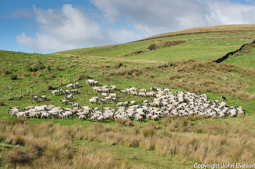 Gathering Swaledale ewes and lambs for shedding, Chipping, Lancashire.