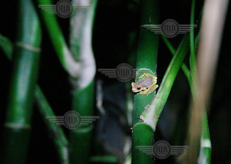 A frog in the Ranario of Monteverde. Costa Rica is home to around 175 amphibians, but many frogs are disappearing due to the impact of climate change.