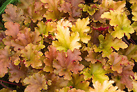 Heuchera 'Marmalade' Marmelade foliage perennial plant with many colored leaves