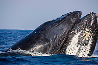 humpback whales, Megaptera novaeangliae, two males, competing for the privilege of accompanying a female, Kohala Coast, Big Island, Hawaii, USA, Pacific Ocean