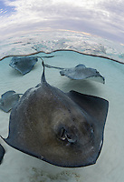TR6364-D. Southern Stingrays (Dasyatis americana), split view showing above and below the waves at world famous snorkeling site Stingray City. Grand Cayman, Cayman Islands, Caribbean Sea.<br /> Photo Copyright &copy; Brandon Cole. All rights reserved worldwide.  www.brandoncole.com