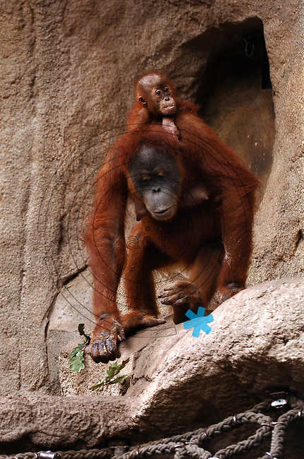 Pongoland Zoo Leipzig - MPI - im Bild: Oran-Utan Pini (adult) und Batak (baby).  Foto: Norman Rembarz ..