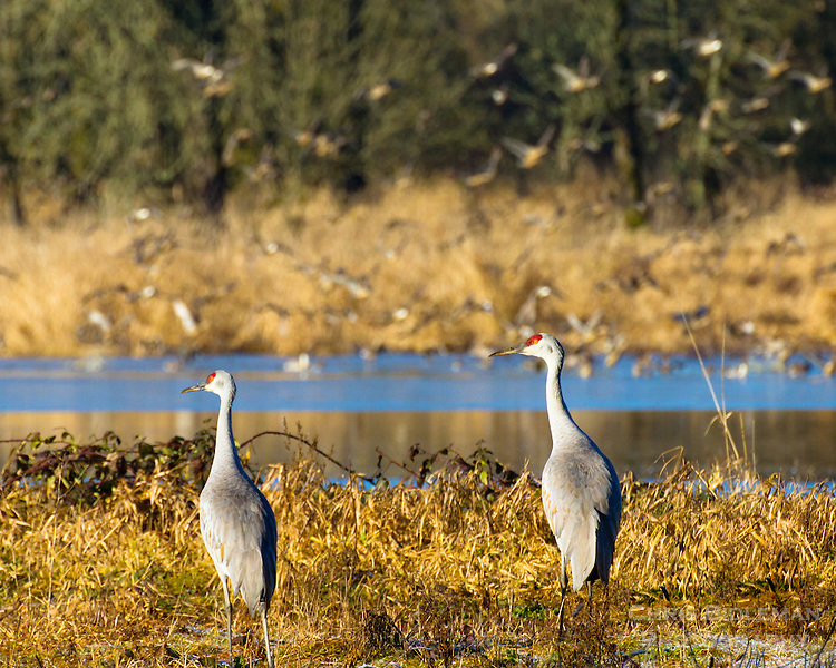 Two sandhill cranes (Grus canadensis) are standing on a stream bank watching many other birds in the background flying with dried grass and tress in the background on a sunny day as seen at the Ridgefield National Wildlife Refuge