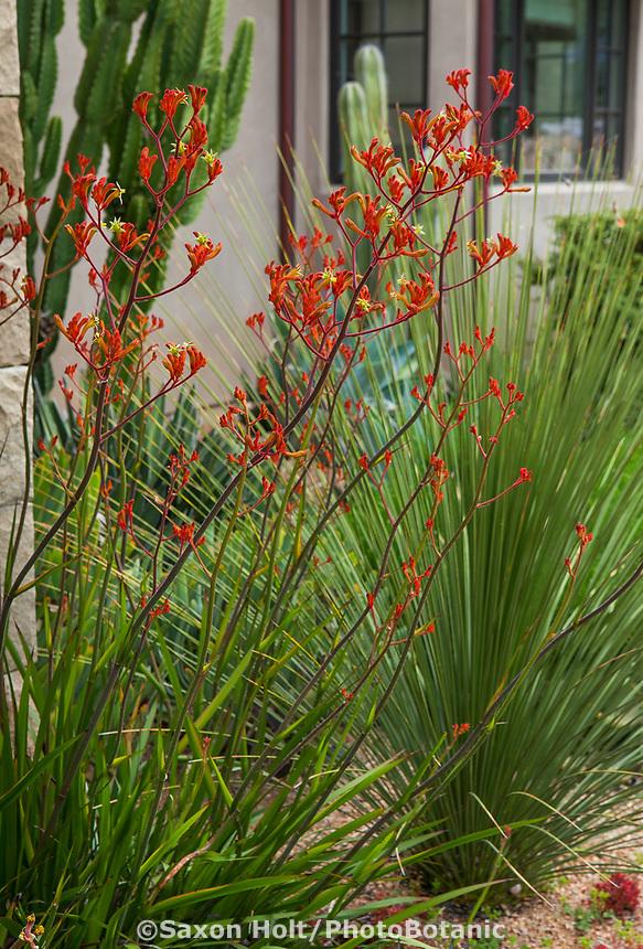 Anigozanthos, Kangaroo Paw flowering perennial summer-dry garden Santa Barbara California